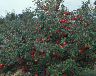 Honeycrisp Tree